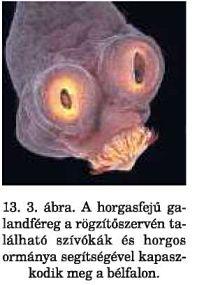 jelezze a gömbféreg parazita életmódhoz való alkalmazkodását